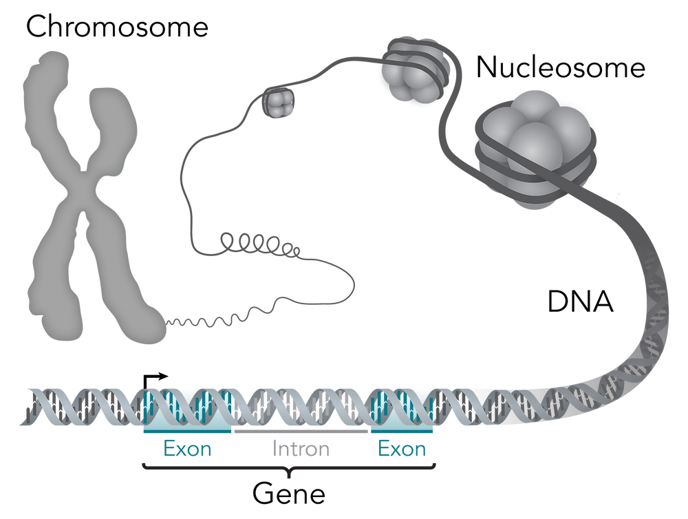 chromosome gene