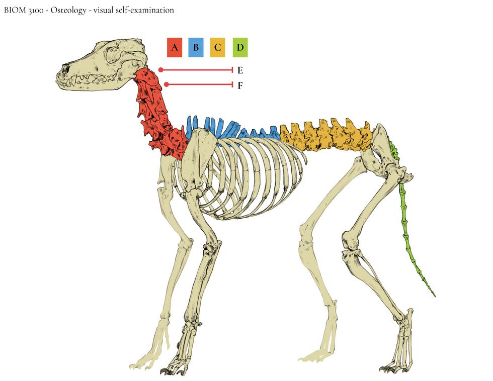Canine Skeleton