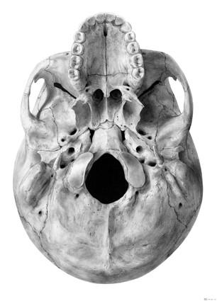Skull Drawing - B&W
