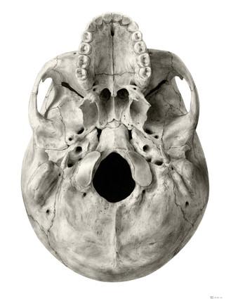 Skull Drawing - Bone Coloured
