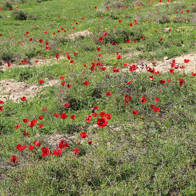 Tsfat Field of Poppies.jpg