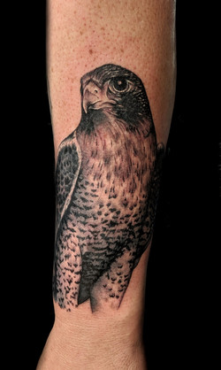 bird - paragrin falcon - left forearm