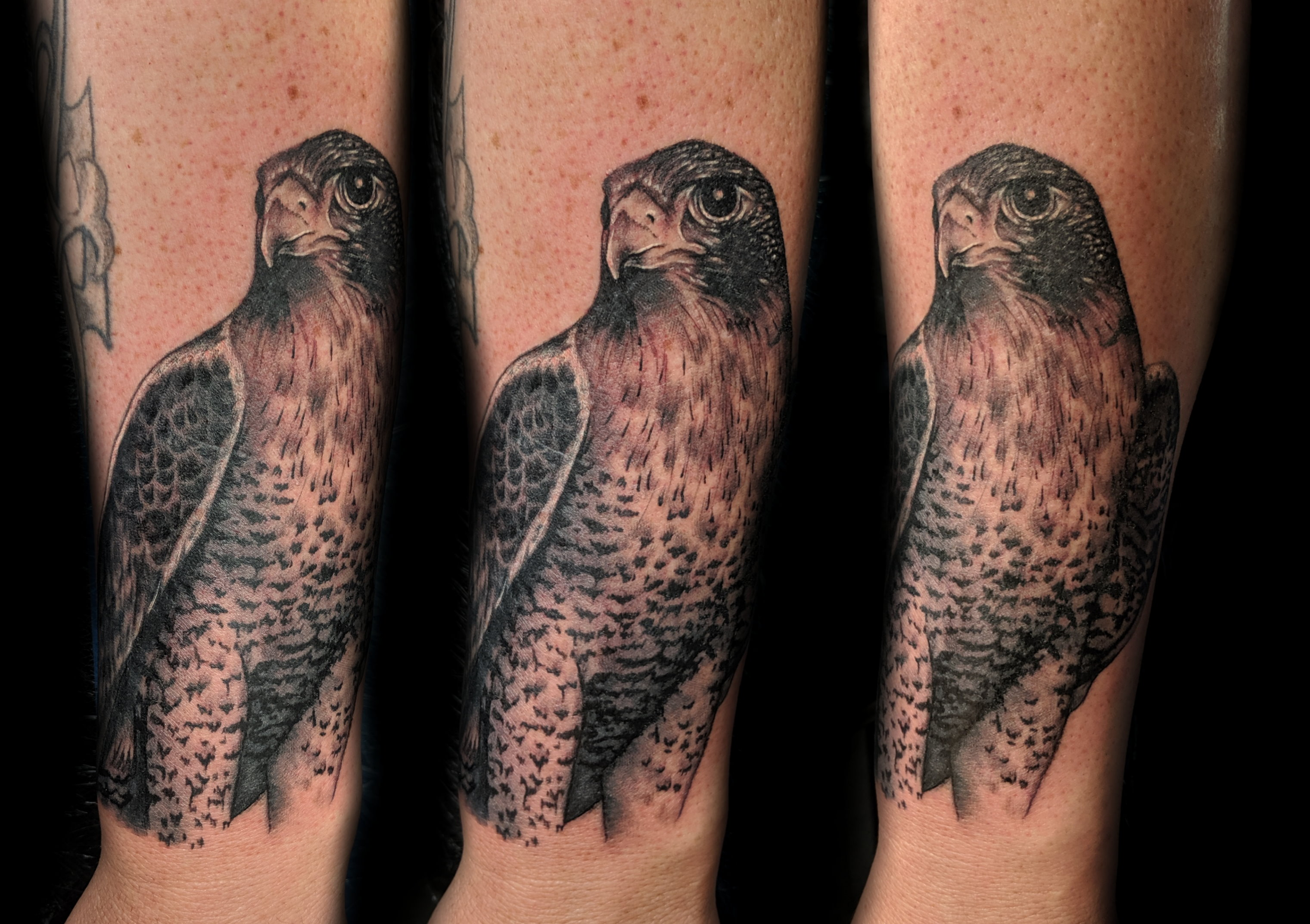 bird - paragrin falcon - left forearm3