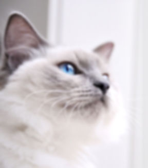 Ragdoll Cat_edited.jpg