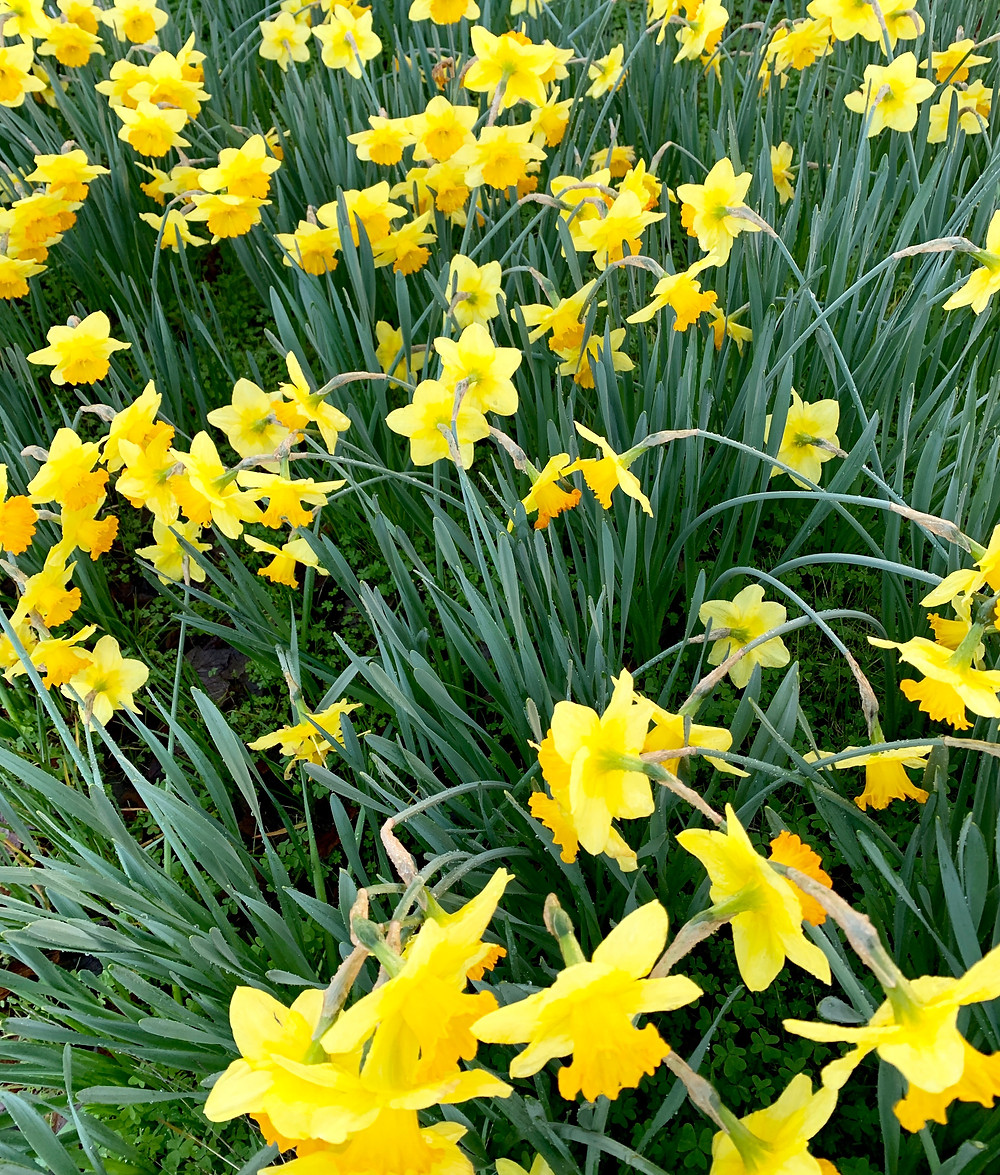 Early Daffodils    Photo by Martha Clark Scala