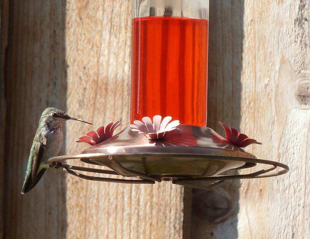Hummingbird Visits Bring Joy. Photo by Bill Scala