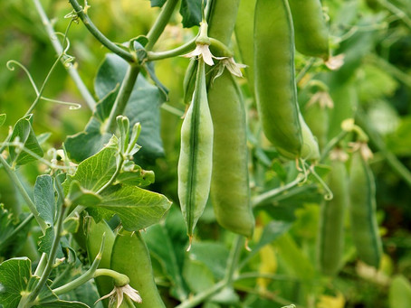 Plant of the Month: Sugar Snaps