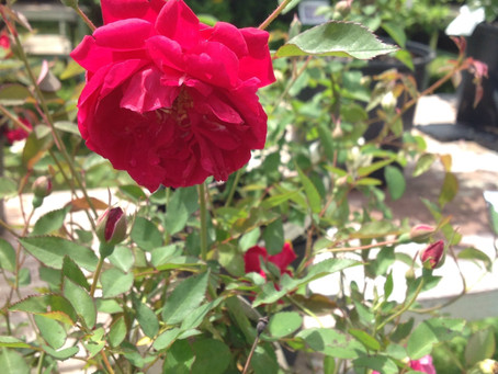 2021: The Year to Create Your Rose Garden