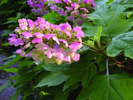 Plant of the Month- Hydrangeas