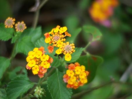 September Plant of the Month- Lantana