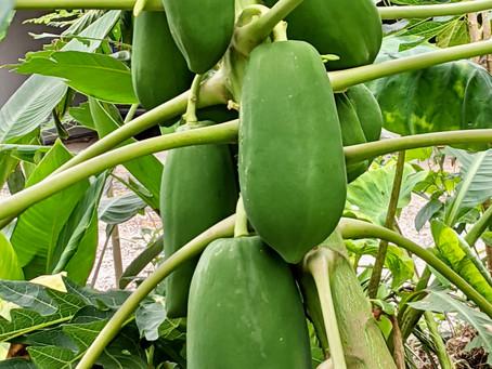 Growing Papayas on the Gulf Coast