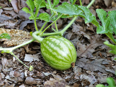 Plant of the Month- Watermelon!