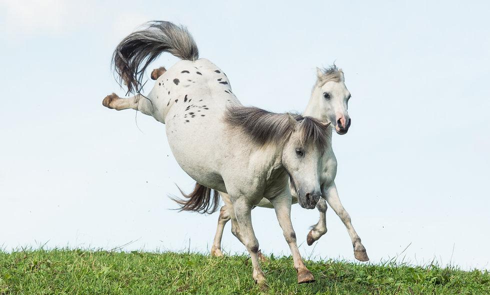 Pony Patenschaft Duke - 1 Jahr