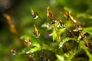 Sporophytesperles.jpg