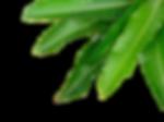 mango leaves.png