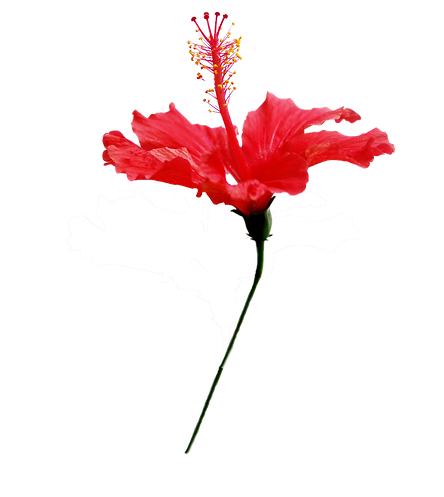Hibiscious flower.png
