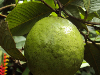 Get Guava goodness - reducing cholesterol, glucose & bad bacteria