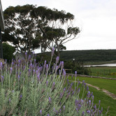 Lavender in front of stoep