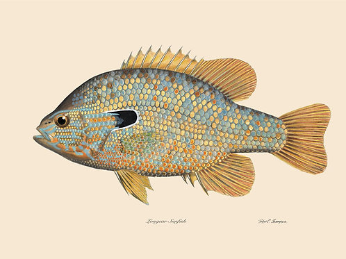8x10 Longear Sunfish Print