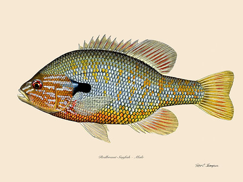 8x10 Redbreast Sunfish Print