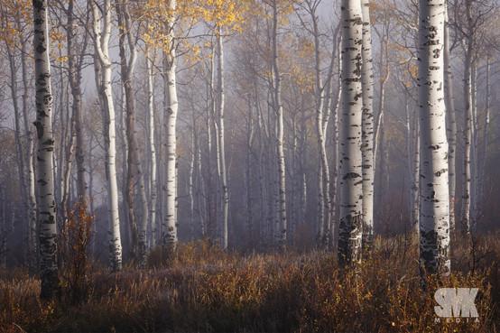 Mysterious Fall Aspen Tree Grove