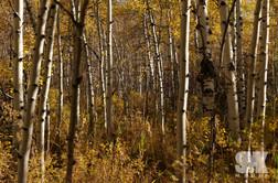 Fall Aspen Tree Grove