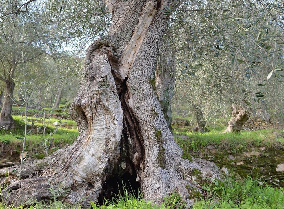 alter Taggiasca Olivenbaum.JPG