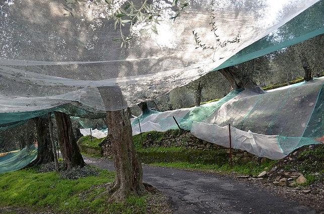 Taggiasca Olivenbäume.JPG