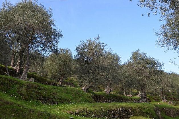 Taggiasca Oliven