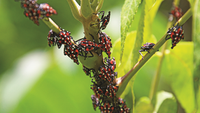 Spotted Lanternflies Make Presence Known