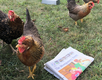 Montgomery Considers Backyard Chicken Ordinance