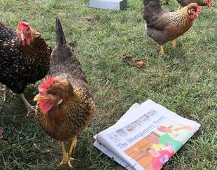 Montgomery Considers Backyard Chicken Ordinance