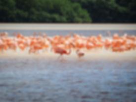 eco-tourism-flamingos-flamingo-tour-yucatan-mexico-celestun-mayan-gypsy-hotel