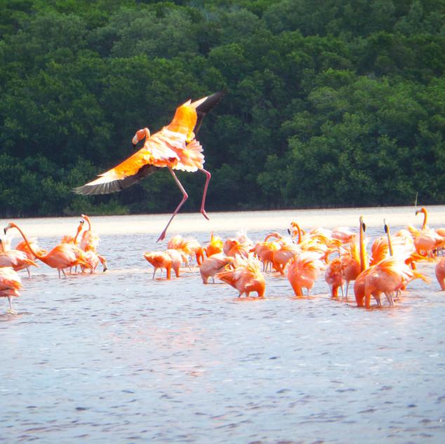 Flamingos in Yucatan, Mexcio