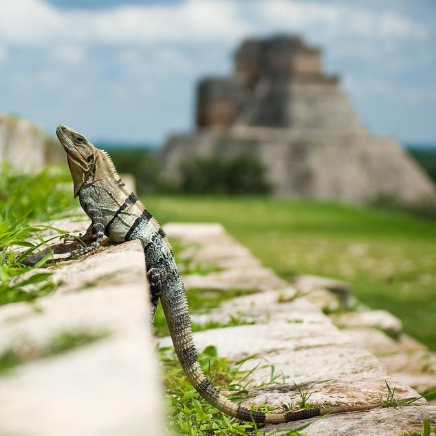 Iguana in Uxmal ruins