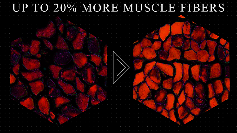 more muscle fibers.png