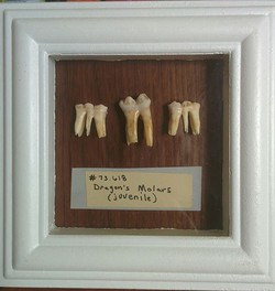 Juvenile Dragon Molars