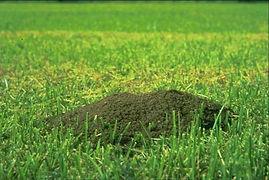 fire-ant-mound2.jpg
