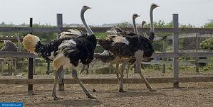 Ostrich farm struisvogel