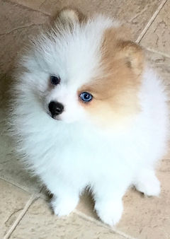 Pomeranian puppies for sale | Pomarazzi Pomeranian