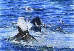 39 Jon Collins Whales Feeding MA