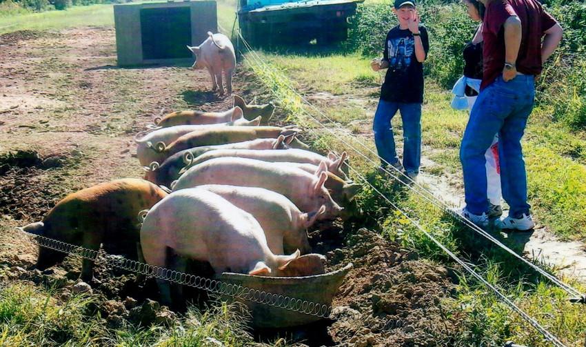 Pigs on a dairy farm?