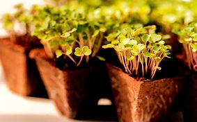 close-up-young-green-sprouts-arugula-wit
