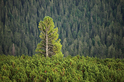 Tall pine tree rising above others.jpg
