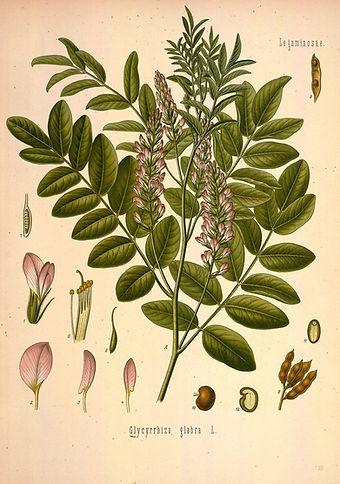 Glycyrrhiza glabra - Alcaçuz