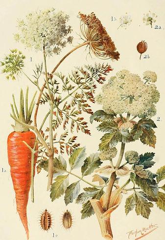 Dacus carota.jpg