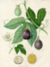Passiflora - maracujá
