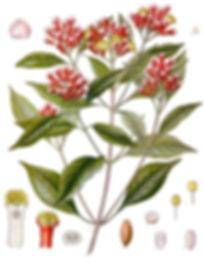 Syzygium_aromaticum_-_Köhler–s_Medizina
