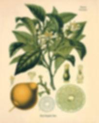 Citrus bergamia risso