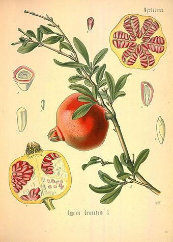 Punica granatum - romã